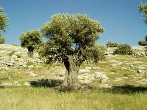 Olive Tree Live